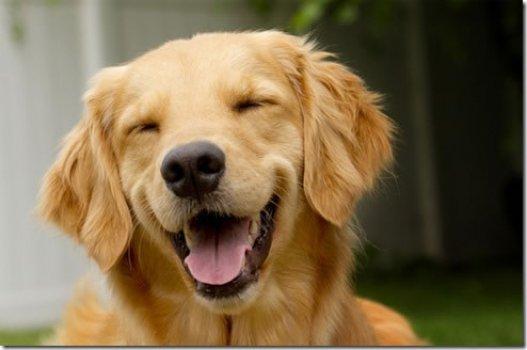 cachorro_feliz_sorrindo_portaldodog-11.jpg