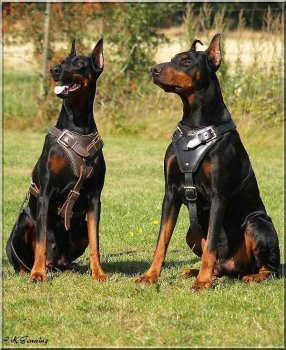 Trained Guard Dogs Price