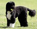 Cachorro Solta Pouco Pelo - Cão de Água Português