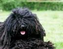 Cachorro Solta Pouco Pelo - Puli