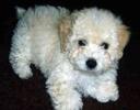 Cachorro Solta Pouco Pelo - Poodle Toy