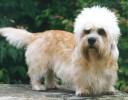 Cachorro Solta Pouco Pelo - Dandie Dinmont Terrier