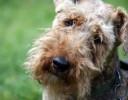 Cachorro Solta Pouco Pelo - WelshTerrier