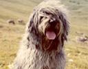 Cachorro Solta Pouco Pelo - Pastor Bergamasco