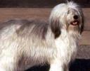 Cachorro Solta Pouco Pelo -polish-lowland-sheepdog