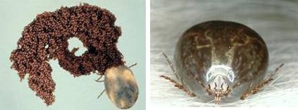 carrapatos caes ovos fase adulta Carrapatos em cachorros   Doença do carrapato