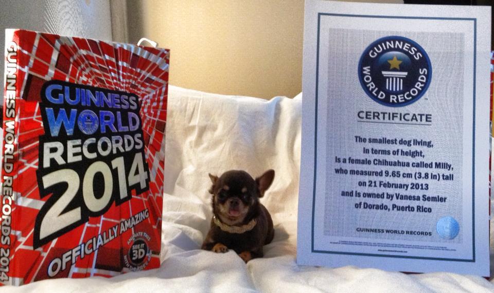 Milly foi reconhecida como Menor Cachorro do Mundo segundo o livro Guinness World Record. Foto: Reprodução / Facebook