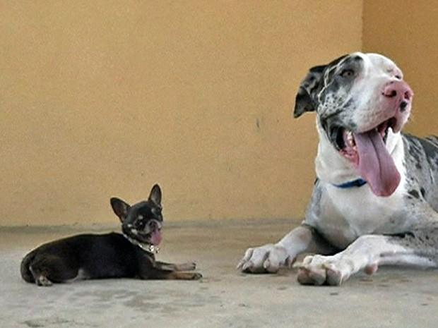 Miracle Milly tem o tamanho da cabeça de um Dog Alemão. Foto: Reprodução/BBC