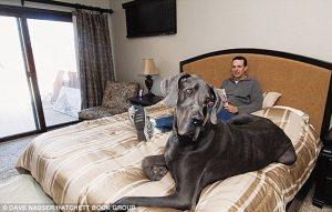 George ficou conhecido após receber o título de 'Cachorro mais alto do mundo'. Foto: Reprodução / Google