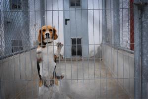 Beagles são usados para testes de cosméticos. Foto: Jo-Anne McArthur / We Animals / Peta UK
