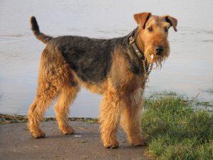 Airedale Terrier. Foto: Reprodução / Google