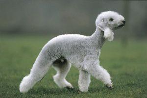Bedlington Terrier. Foto: Reprodução / Google