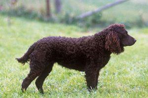 Cão D'água Americano. Foto: Reprodução / Google