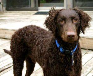 Curly Coated Retriever. Foto: Reprodução / Google