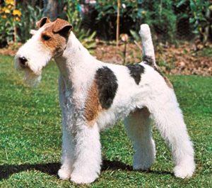 Fox Terrier de Pelo Duro. Foto: Reprodução / Google