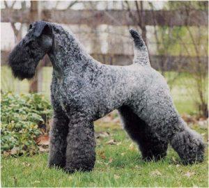 Kerry Blue Terrier. Foto: Reprodução / Google