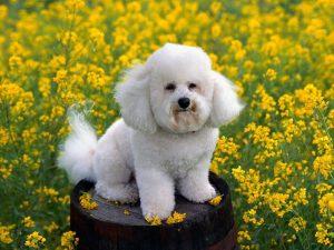 Poodle. Foto: Reprodução / Google