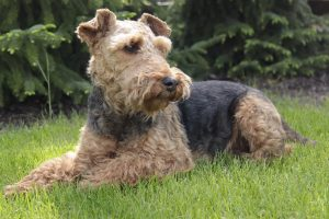 Welsh Terrier. Foto: Reprodução / Google