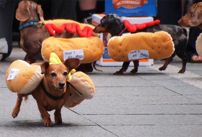 corrida-dachshund-cincinnati-03