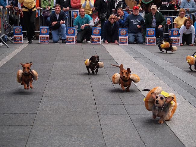 corrida-dachshund-cincinnati-04