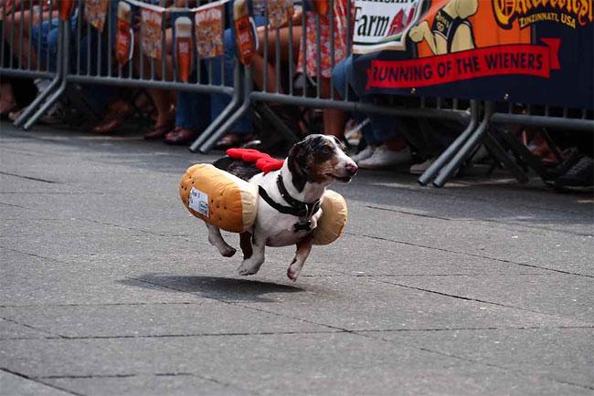 corrida-dachshund-cincinnati-08