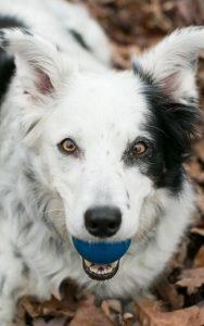 Chaser, a cadela que aprendeu mais de 1000 palavras. Foto: Reprodução/Twitter