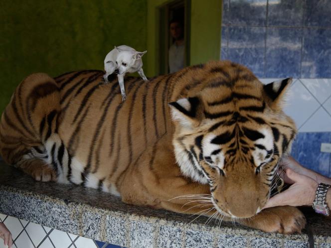 Chihuahua e Tigre da família Borges. Foto: Reprodução