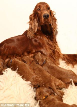 Cachorra amamentando seus filhotes (Foto: Reprodução / Daily Mail)