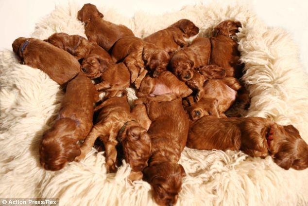 Cachorra dá à luz a 17 filhotes (Fonte: Reprodução / Daily Mail)