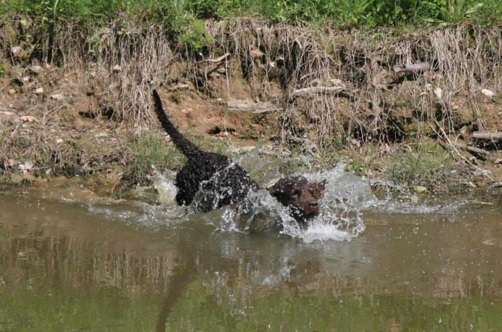 Cão de Água Americano (Foto: Reprodução  Google)