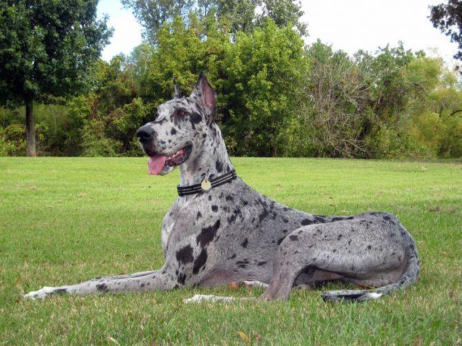 As 15 raças de cachorros mais quietas - Portal do Dog