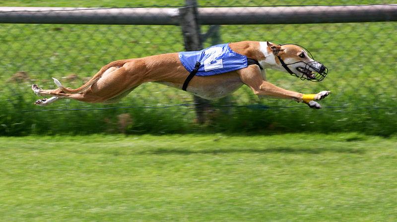 Cachorro da raça Greyhound correndo. (Foto: Reprodução/ Google)
