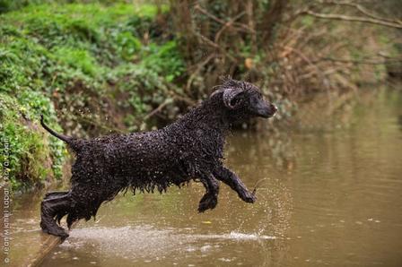 Cão de Água Irlandês (Foto: Reprodução / Google)
