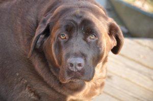 Cães obesos. Foto: Reprodução