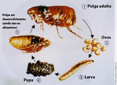 Ciclo de vida de uma pulga. Foto: Reprodução