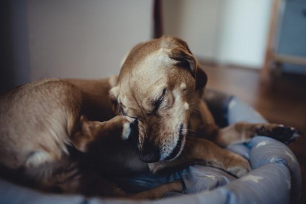 cachorro com pulga