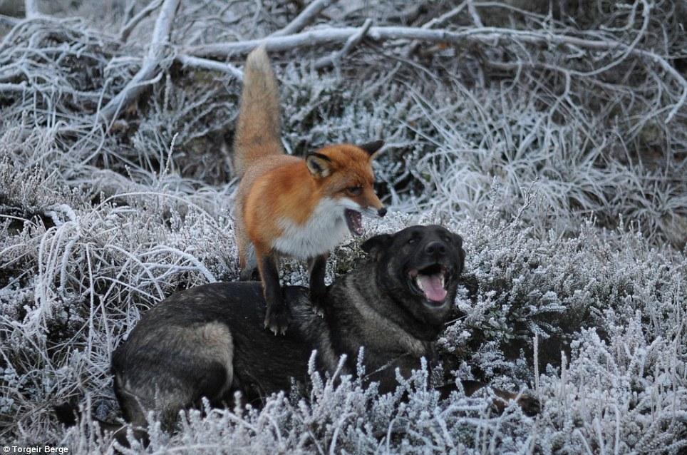 amizade-cachorro-raposa-1