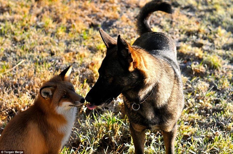 amizade-cachorro-raposa-2