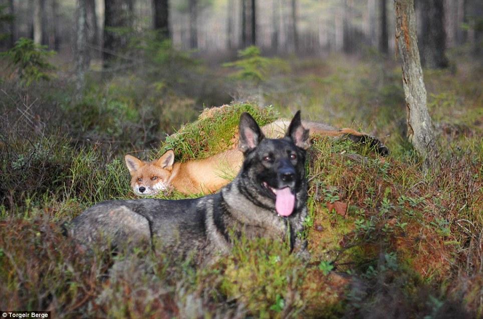 amizade-cachorro-raposa-3