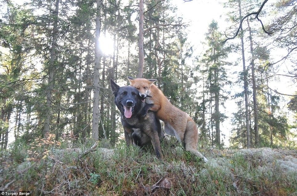 amizade-cachorro-raposa-4