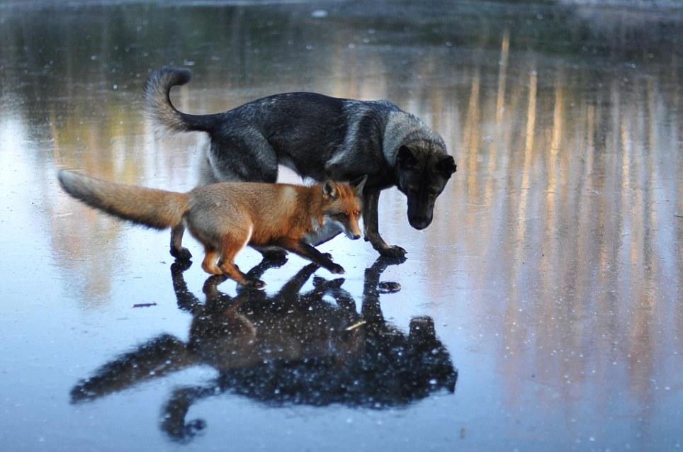 amizade-cachorro-raposa-5