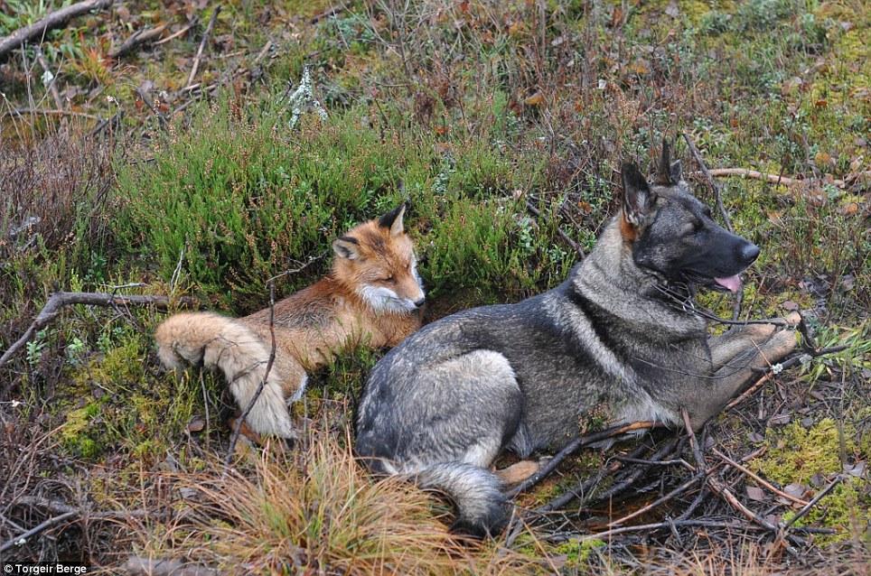 amizade-cachorro-raposa-6