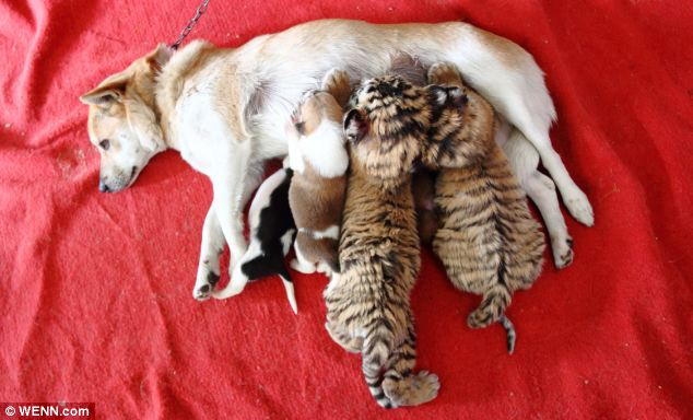 Cachorra amamenta três filhotes caninos e dois tigres siberianos. (Foto: Reprodução / Daily Mail)