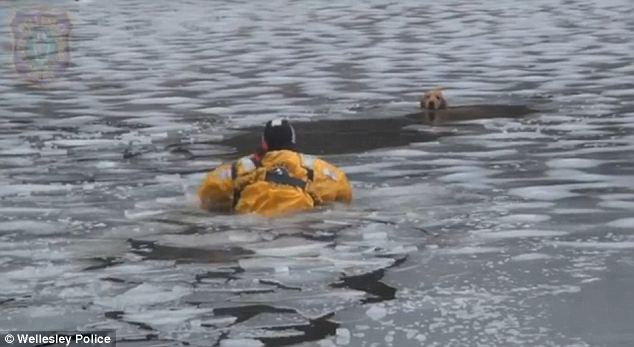 Bombeiro resgata cachorra presa em rio congelado. (Foto: Reprodução / Daily Mail)