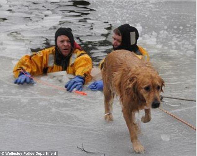Cachorra resgatada do rio Charles em Massachusetts.  (Foto: Reprodução / Daily Mail)