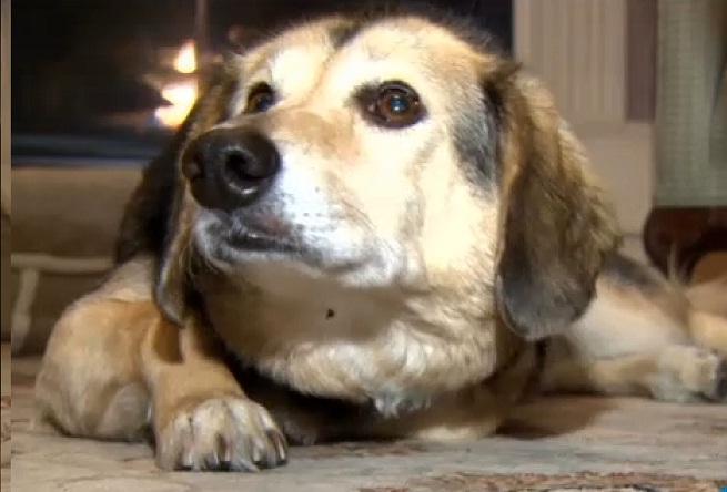 Mesmo machucada, Lucy procurou ajuda para seu dono. (Foto: Reprodução / CBS Boston)