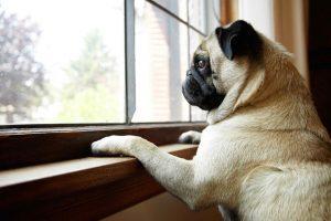 Muitos cachorros sofrem de ansiedade da separação. (Foto: Reprodução / Google)