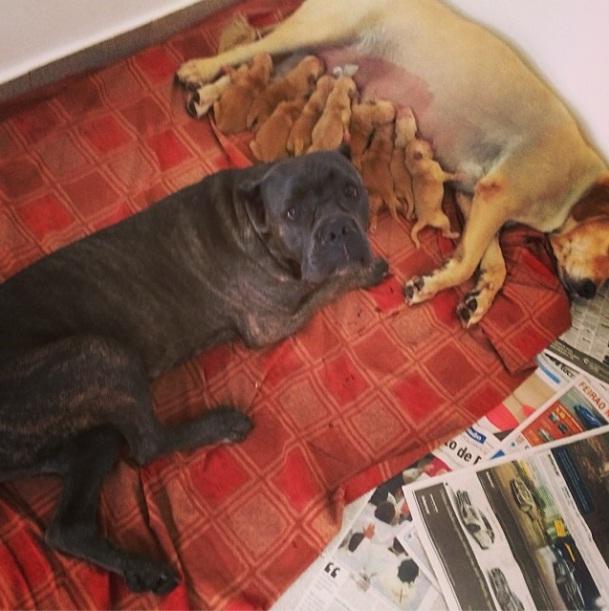 Banha, o outro cachorro de André Marques, com Cuca e seus 10 filhotes. (Foto: Reprodução / Instagram)