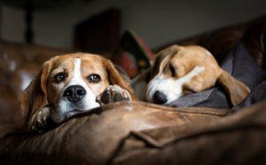cachorros-beagles