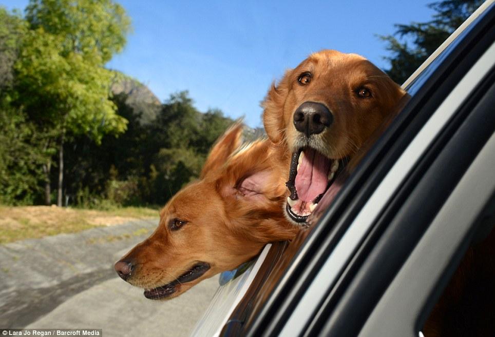 Labradores delirando na janela do carro. (Foto: Reprodução / Site Oficial Dogs In Cars)